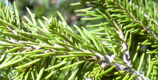 Spruce Genome Project